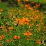 Laos, Blumen