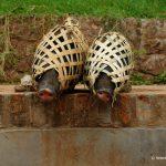 Laos, Schweine verpackt