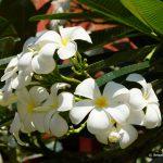 Thailand, Blume